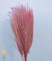 Dried Light Pink Eulalia Aurea