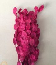 Dried Hot Pink Lunaria