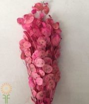 Dried Pink Lunaria