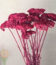 Dried Fuchsia Yarrow