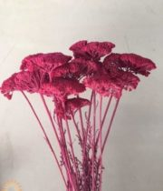 Dried Tinted Fuschia Yarrow