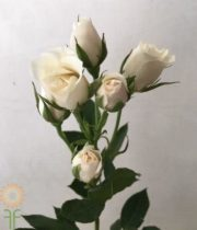 White Majolika Spray Roses