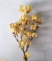 Dried Apricot Bougainvillea