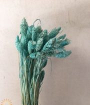 Dried Light Blue Phalaris