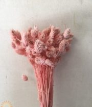 Dried Light Pink Phalaris