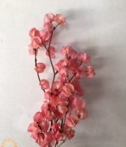 Dried Salmon Bougainvillea