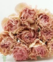 Blush Champagne Specialty Creola Carnations