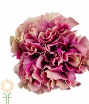 Purple Bicolor Specialty Hurricane Carnations