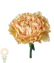 Beige Specialty Lege Marrone Carnations