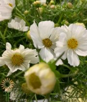 White Chocolate Cosmos