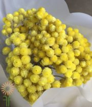 Dried Yellow Helichrysum