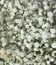 White Snowball Gypsophila (Baby's Breath)