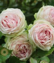 Pink Bridal Lace Garden Spray Roses