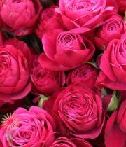 Hot Pink Cherry Colorosa Spray Roses
