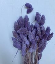 Dried Amethyst Phalaris