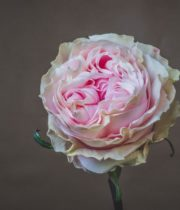 Light Pink Duchesse Roses