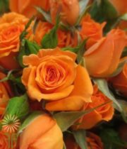 Orange Kelly Spray Roses