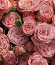 Pink Madam Bombastic Spray Roses