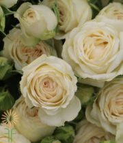 Cream Sagittarius Spray Roses