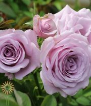 Lavender Sterling Sensation Spray Roses