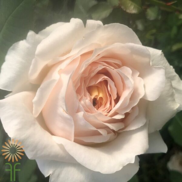 Vanilla Fragrance Rose