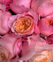Pink And Orange Victorian Spirit Garden Roses