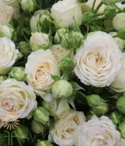 Ivory Virgo Spray Roses