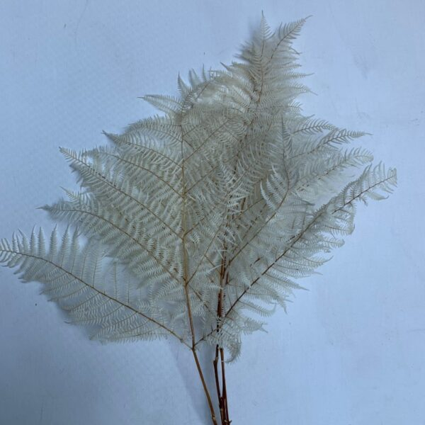 Dried Bleached Leather Leaf