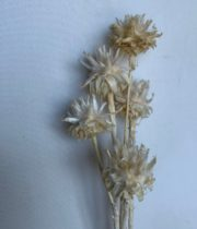 Dried Bleached Plumosum Leucadendron