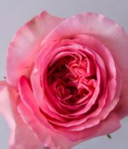 Pink Expression Roses