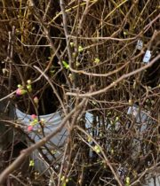 Pink Flowering Quince Branches